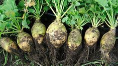 Herb Diet, Rutabaga, Chou Rave, Oxalic Acid, High Calcium, Rabbit Eating, Turnip Greens, Vitamin B Complex, Root Vegetables