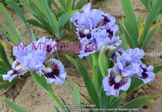 SDB Iris germanica 'Oh Canada' (Johnson, 2015)