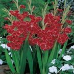 Redwing Butterfly Glad (lift in zones 3-6) Spring 2011 $8/8 bulbs ; June 2013 $16/8