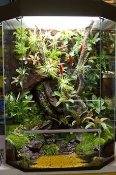 Explore Harry K's photos on Photobucket. Tree Frog Terrarium, Gecko Terrarium, Terrariums, Reptile Terrarium, Garden Terrarium, Glass Garden, Frog Habitat, Reptile Habitat, Reptile Room