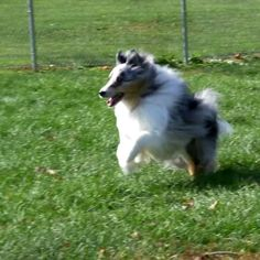 Beauty in motion. #AKCShetlandSheepdog #AKCBreedoftheDay