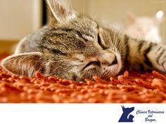 https://flic.kr/p/NtbSXK   El sueño de los gatos. CLÍNICA VETERINARIA DEL BOSQUE 2   El sueño en los gatos. LA MEJOR CLÍNICA VETERINARIA DE MÉXICO. Los gatos son por naturaleza muy dormilones. Un gato adulto duerme 16 horas diarias repartidas en siestas repartidas durante el día. Hay factores que pueden influir en estas horas de sueño como el calor, el hambre que tengan o la edad del gato. En Clínica Veterinaria del Bosque contamos con médicos especialistas para cuidar la salud integral…
