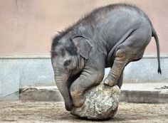 Baby Elephant balancing on a round rock.  What a cutie!