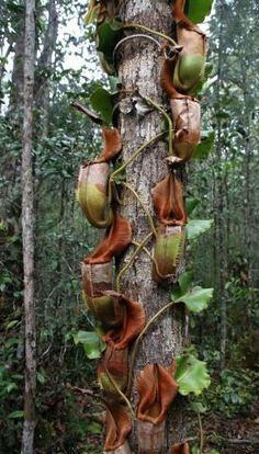 Nepenthes veitchii, Borneo