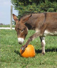 Courtesy: The Red Gate Registered Miniature Donkeys. Centerburg, Ohio (USA).