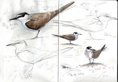 Стеф 'Торп. Птица Художник и иллюстратор   Работа видов птиц с Британских островов и за ее пределами (специалист в Великобритании редких птиц)