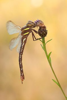 Brown hawker by Tom  Kruissink, via 500px
