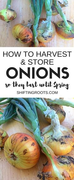 Harvesting onions is one of the easier late-summer-early-autumn gardening chores.  Here's an easy tutorial to get the job done! #onions #gardening #urbangardening