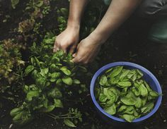 fresh picked herbs from your garden...Solitaire-Solidaire