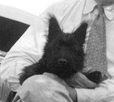 Fala at 4 months old (I love the fuzzy ear stage! Roosevelt Family, Scottish Animals, Franklin Delano, Scottie Dogs, Scottish Terriers, 4 Month Olds, Cairns, 4 Months, Paintings