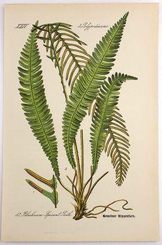1905 - HARD FERN Rippenfarn Blechnum Spicant Roth - Flower Garden - Chromolithograph by Zeyschwitz. Plant. Botany. Natural History.