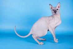 Donskoy Cat/Don Sphynx/Don Hairless