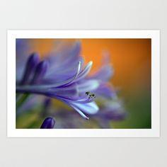 Blue Agapanthus 2786 Art Print by metamorphosa - $22.88
