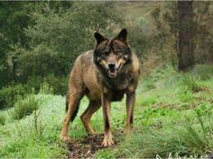 Iberian wolves are one of my favourites, because of their very typical brown coat with dark black accents/marking