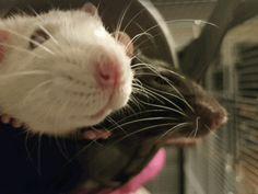 Two little noses #aww #cute #rat #cuterats #ratsofpinterest #cuddle #fluffy #animals #pets #bestfriend #ittssofluffy #boopthesnoot