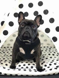 Dolly has a swanky new tipi! French Bulldogs, Friends, Amazing, Animals, Amigos, Animales, Animaux, Animal, Animais