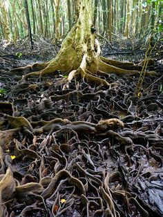 Roots of the Mangrove: Mangroves, important for their resilience, are also one of the maintstays to sustainable growth of the various mangrove. It also serves to protect land from the fierce onslaught of the wild sea.