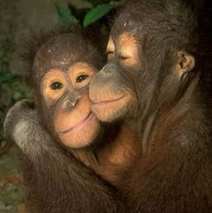 Orphaned Orangutan youngsters giving each other a comforting hug.