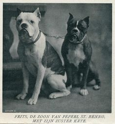 boxer kennel 1908 e uit tijdschrift Buiten 1908