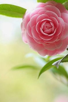 Did someone hand trim this camellia? We always had camelias and gardenias in my mother's garden. My Flower, Pretty In Pink, Pink Flowers, Beautiful Flowers, Hydrangea, Mother Nature, Pink And Green, Planting Flowers, Bouquet
