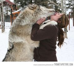 funny wolf pictures | funny-wolf-kissing-girl-cute
