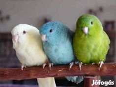 """Képtalálat a következőre: """"katalin papagáj"""""""