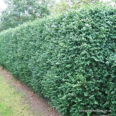 Box (Buxus sempervirens) hedge