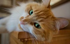 Beautiful red green-eyed cat maine coon close-up wallpapers and ...
