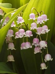 Pink Lily of the Valley I need some . Love lily of the valley