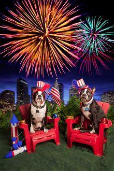 668504e1006f 17 Best Boston Terrier July 4th images in 2018 | Best dogs, Boston ...