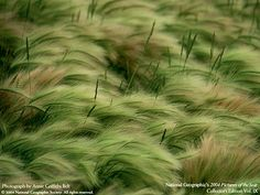 American Landscapes: Badlands National Park @ National Geographic Magazine Wasn't that green when I was there! Wild Grass, Magazine Pictures, Badlands National Park, Ornamental Grasses, Landscape Architecture, Landscape Design, Wildlife Photography, National Geographic, Picture Video