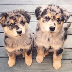 Australian shepherd puppy dogs