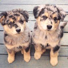 Australian shepherd puppy dogs