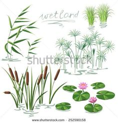 Set of wetland plants. Simplified image of  reed, water lily, cane and carex. - stock vector