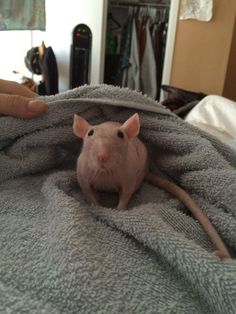 Hairless Rat, Hairless Animals, Brown Rat, Animals And Pets, Cute Animals, Pet Rodents, Dumbo Rat, Fancy Rat, Cute Rats