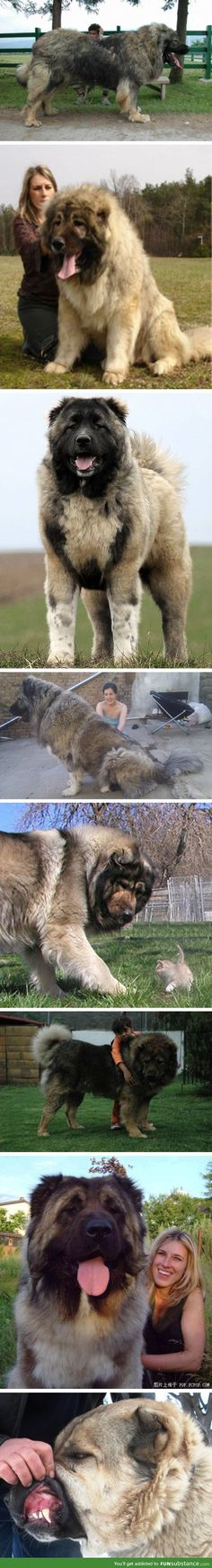 Caucasian Orvcharka mountain dogs were bred in Russia to hunt bears. I'd love to name one Ragnar