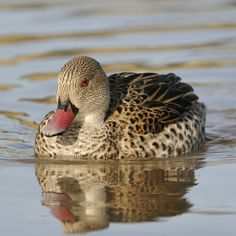 Cape Teal Ducks - Cape Teals Anas capensis are quite easy to keep and breed in captivity, especially if you are in a mild Duck Species, Bird Species, Teal Duck, Duck Duck, Cute Ducklings, Beautiful Birds, Pretty Birds, Mallard, Quail