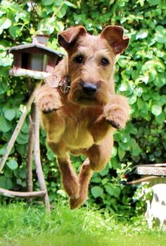 Irish Terrier in Germany--Great picture!!