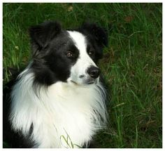 The Border Collie is a herding dog breed developed in the Anglo-Scottish border region for herding livestock, especially sheep. Wikipedia Life span: 13 to 16 years Temperament: Alert, Energetic, Tenacious, Responsive, VERY Intelligent Colors: Red Merle, Gold, White, Blue, Sable Merle, Red, Chocolate, Brindle, Lilac, Sable, Liver, Blue Merle, Black Height: Female: 18–21 inches, Male: 19–22 inches Weight: Male: 30–45 lbs, Female: 26.9–41.9 lbs