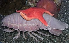 only one thing better than a giant isopod...a giant isopod giving a starfish a ride!