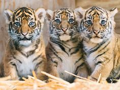 Tiger Cub Triplets Make Debut at Washington Zoo| Animals & Pets, Zoo Animals