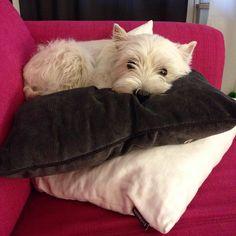 Westie sleeping like a princess