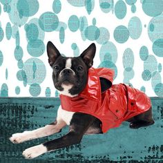 Boston terriers... especially in outfits!