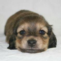 darling Miniature Dachshund..U baby U..welcome..peace B with for all  of your days on this earth.. Have a blessed life little one