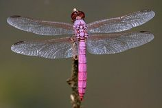 Gorgeous in pink    Roseate Skimmers are common in the Americas and can be found anywhere from the United States to Chile