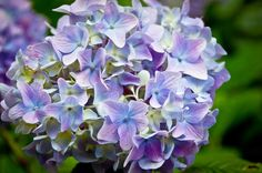 SALE Nature Photography Print | Hydrangea Flower Art Print | Home, Wall, Garden Decor | Archival Ink Paper Canvas Metal | Free Shipping USA
