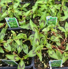 Vietnamese Coriander herb grown locally in Portland Oregon