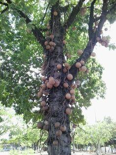 Árvore de Abricó de Macaco Nativa da Amazônia. Foto na praça da Independência na minha querida João Pessoa Paraiba