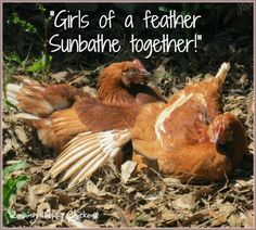 Chicken Quotes, Raising Chickens, Chickens Backyard, Animals, Facebook, Animales, Animaux, Animal Memes, Animal