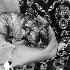 French bulldog napping on skull throw